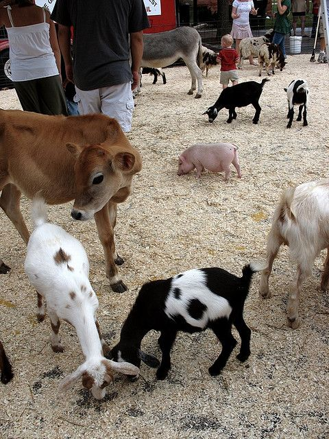 Baby farm animals, Miller's petting zoo Baby farm