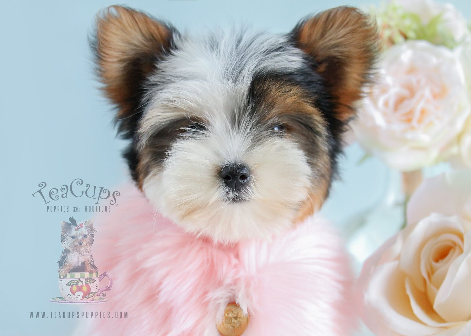 Parti Yorkie Puppy By Teacup Puppies Teacup Puppies Yorkie Puppy Teacup Yorkie