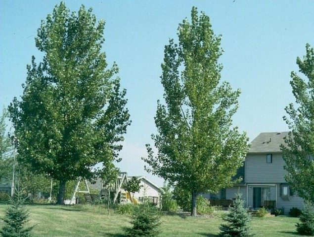 Cottonless Cottonwood Shade On Side Of House Deciduous