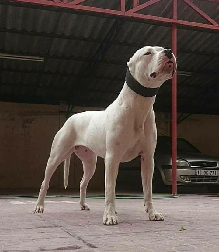 Dogo Argentino Cloud De Oriente Dog Argentino Big Dogs Dogs