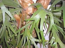 Platycerium bifurcatum, Samambaia-chifre-de-veado