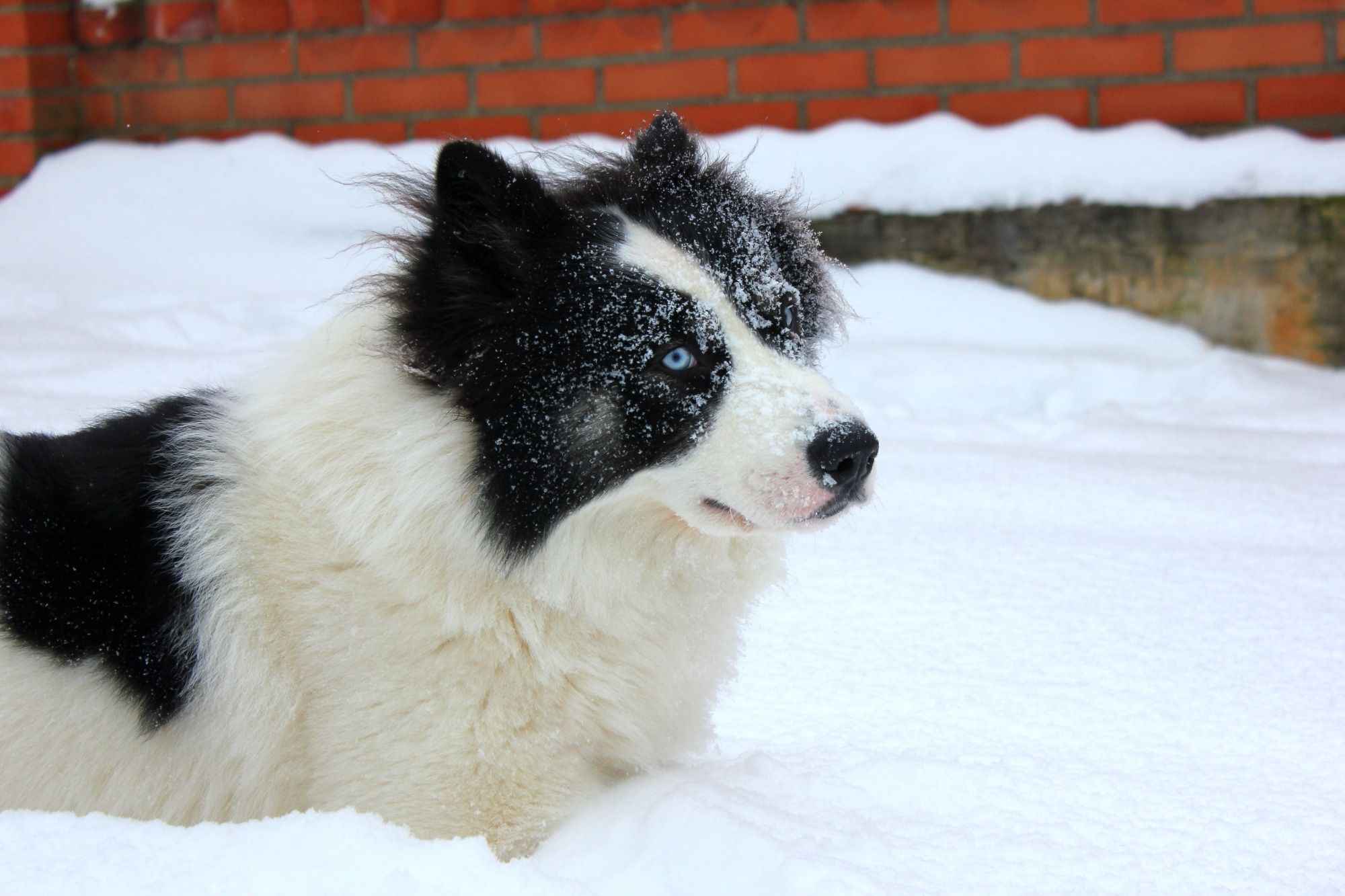 Jakutischer Laika Hunderassen Haushund Schlittenhunde