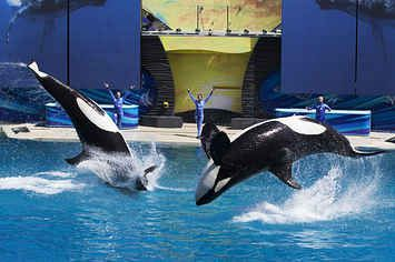 SeaWorld To End Its Controversial Orca Breeding Program