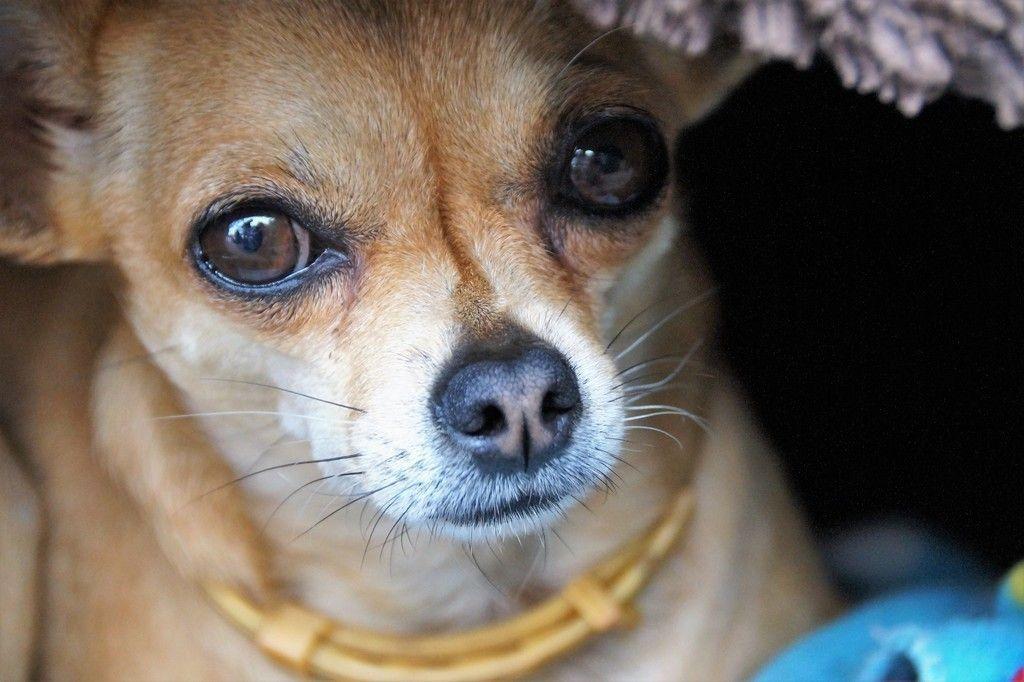 Chihuahua Dog Muzzle 5k Wallpaper Dog Vs Dog Chihuahua Dogs