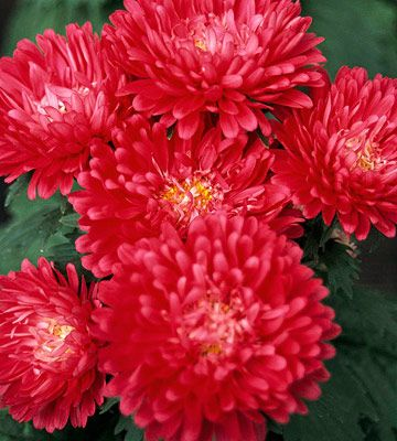 China Aster Callistephus Is A Low Care Easy To Grow Annual That Comes In A Variety Of Colors And Works Well In Conta Plants September Flowers Annual Plants