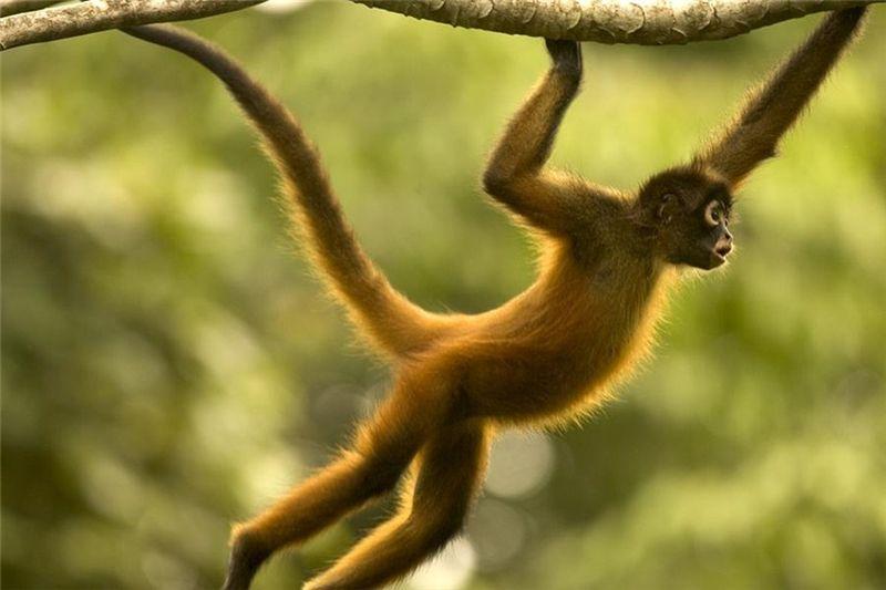 Amazon Rainforest Animals Rainforest Animals Spider Monkey