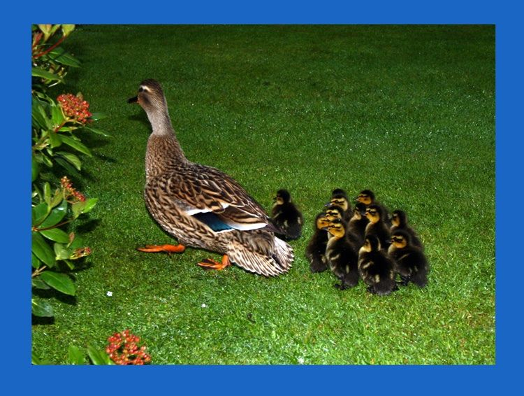 Ducklings out and about in my garden