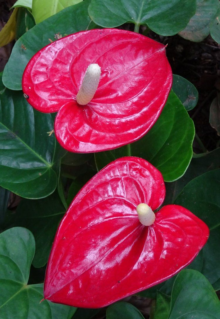 Anthurium Plant With A Big Heart Anthurium Plant Plants Anthurium