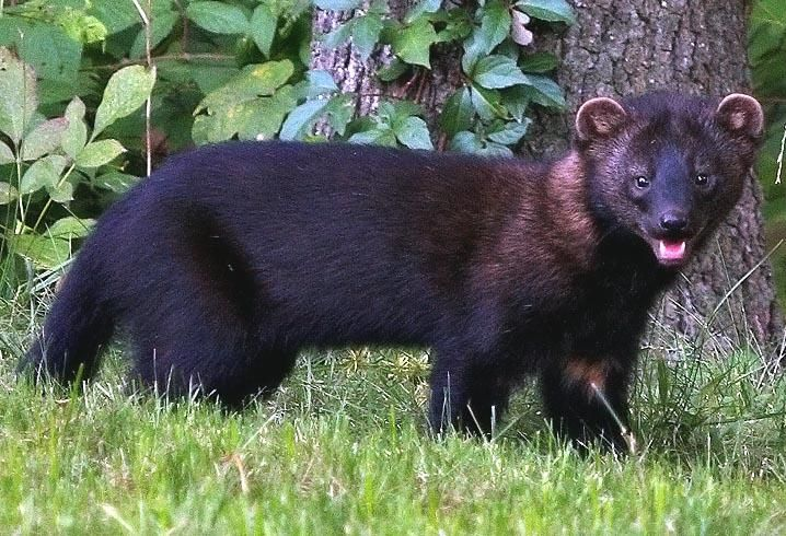Fisher Cats in Connecticut ! | Fisher animal, Outdoor cats and Fisher cat