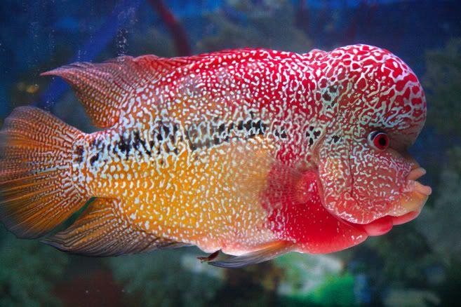 Flowerhorn Fish Pictures Http S7 Zetaboards Com Flowerhornrusforum Topic 108041 1 New Ikan Cichlids Ikan Akuarium