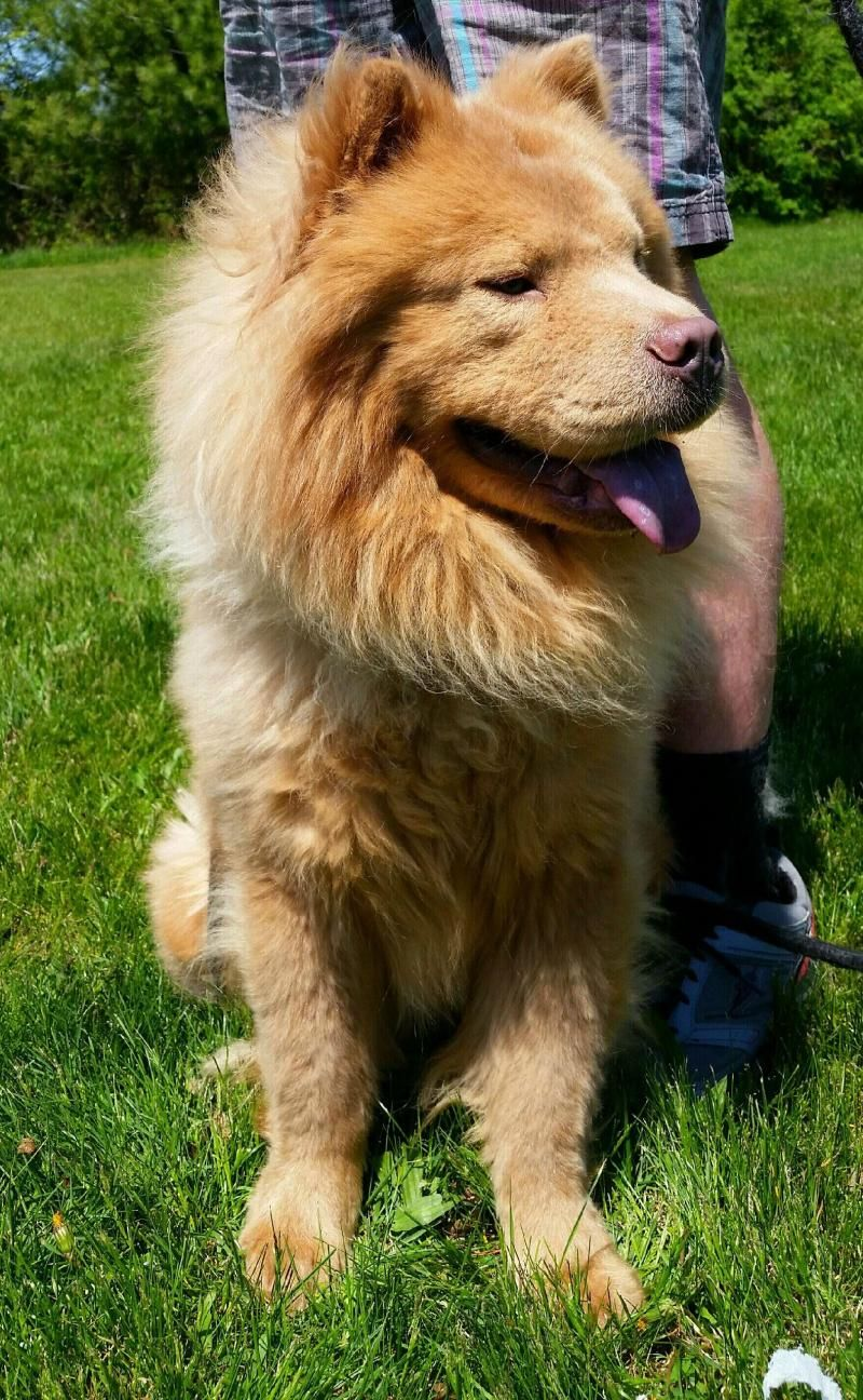 Adopt Lionel On Dogs Animal Shelter Chow Chow Dogs
