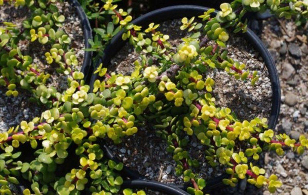 Portulacaria Afra Aurea Agave Attenuata Succulents Plants