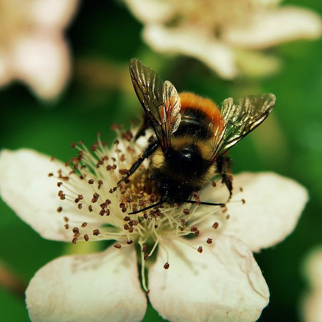Bees And Blossoms With Images Bee Bumble Bee Insects