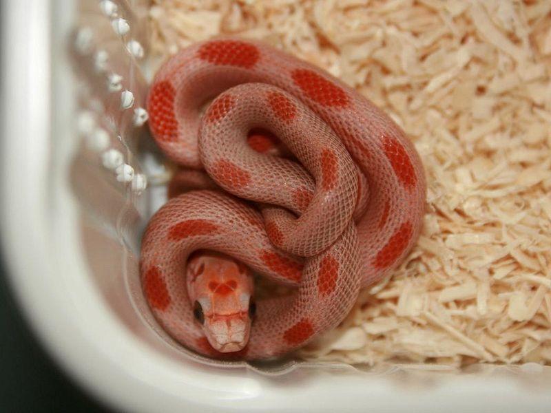 Sunkissed Stripe Corn Snake Corn Snake Snake Pet Snake