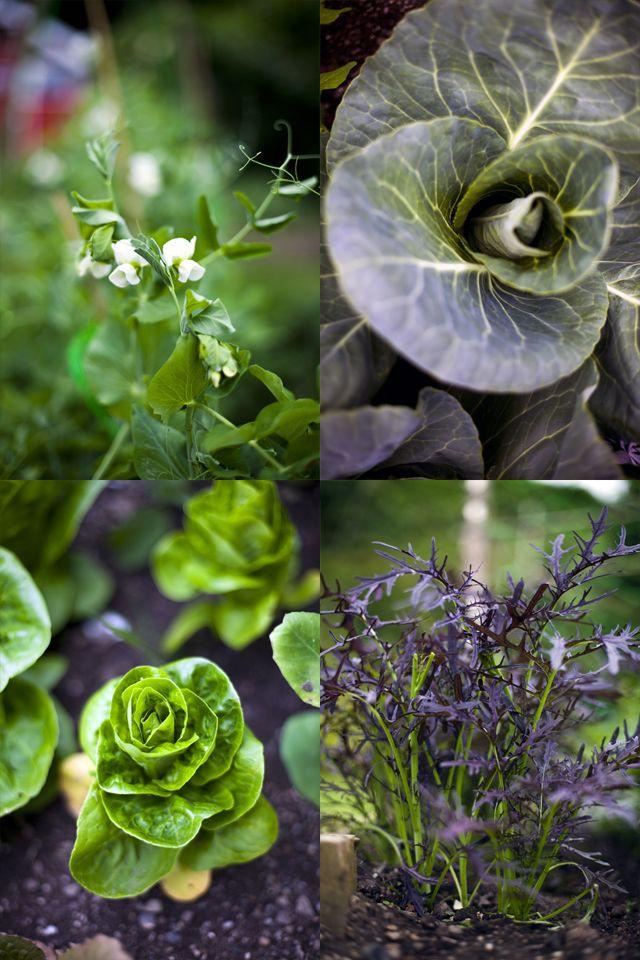 Kitchen Garden... Peas, Mustard Leaf, Baby Gem and Cabbages ...