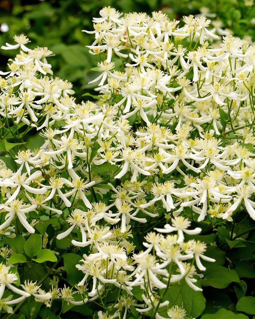 Fragrant Blooms Of Sweet Autumn Clematis Grows Like A Weed And