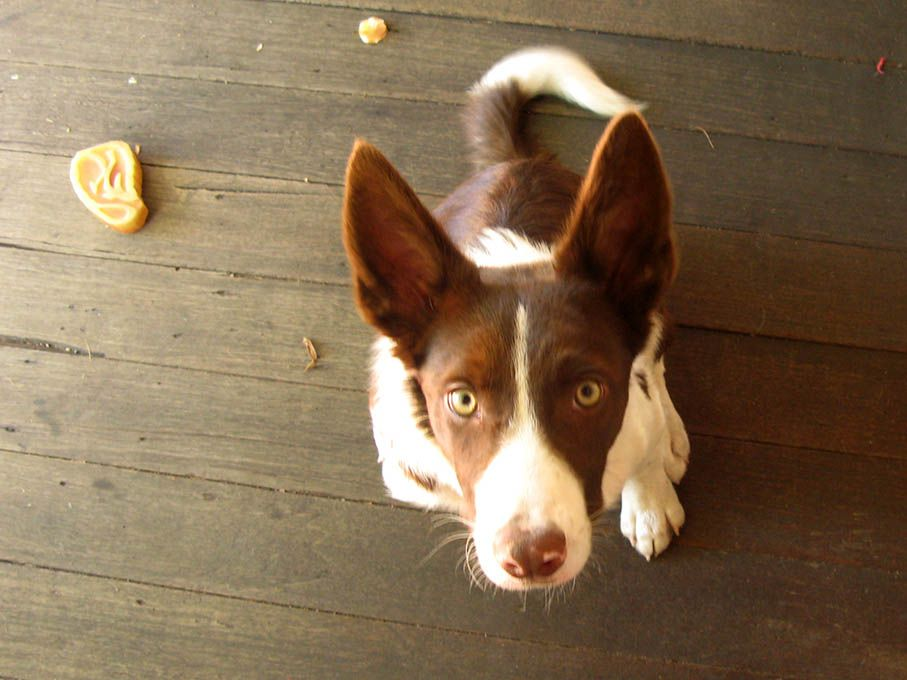 Tommie As 5 Month Old Puppy Australian Border Collie Kelpie Cross Australian Border Collie Doggy Puppies