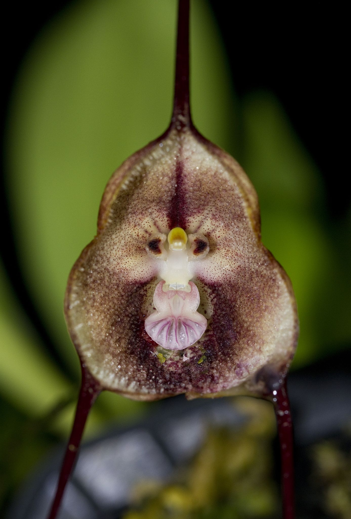 Dracula syndactyla dracula orchid and flowers