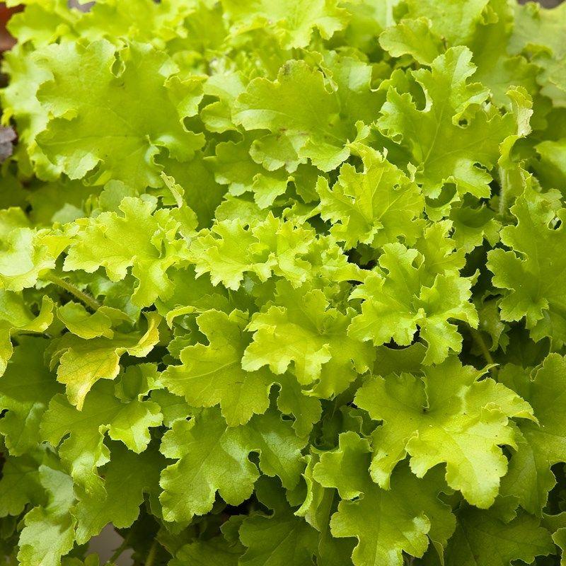 Heuchera Lime Marmalade Coral Bells Dobbies Garden Centres Garden Shrubs Heuchera Cottage Garden Plants