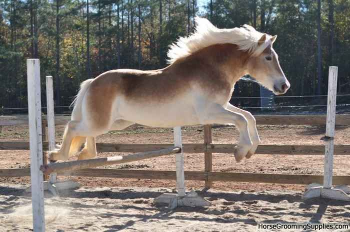 Pangare is evident on this Haflinger | Horses, Haflinger ...