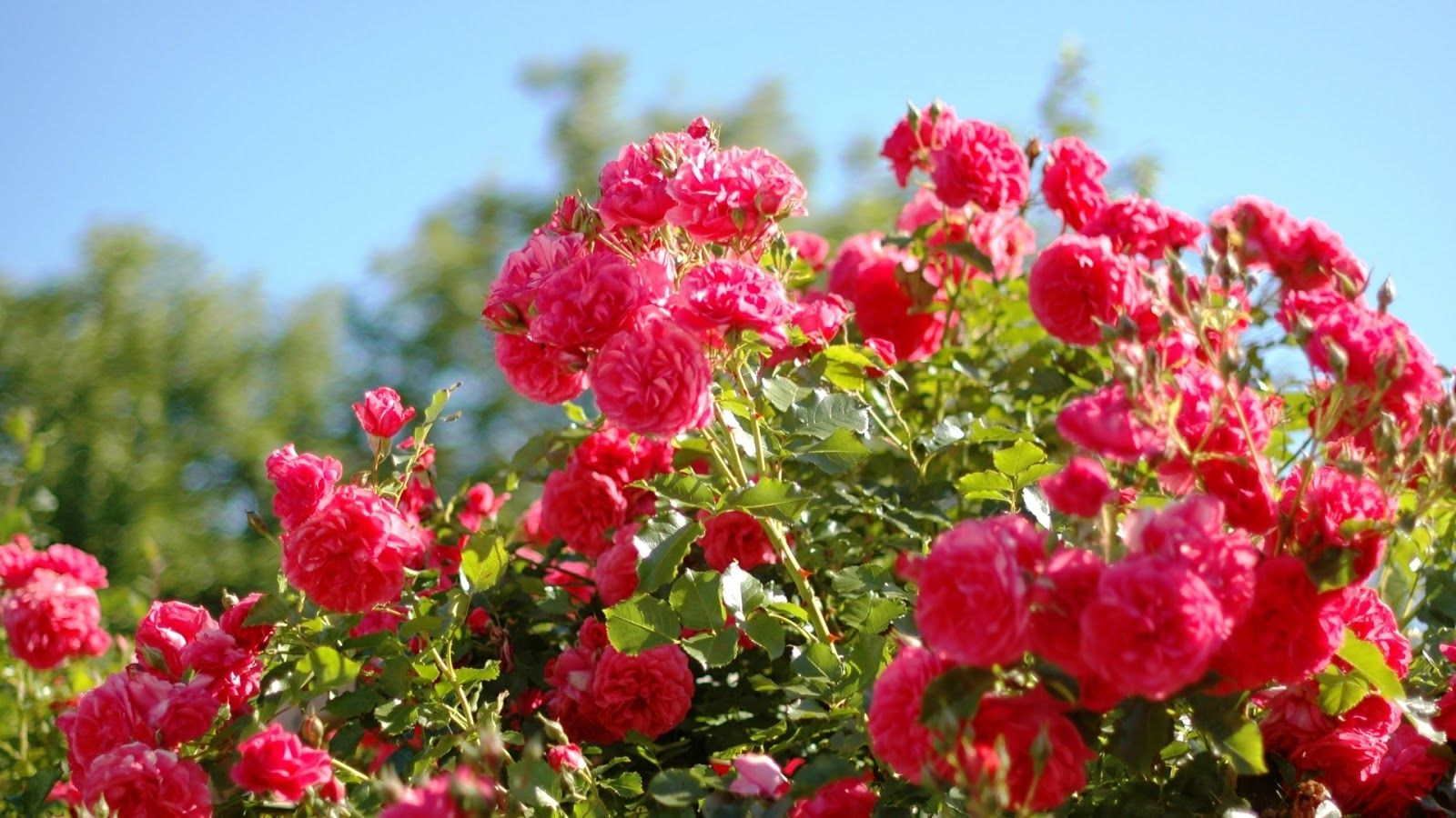 rose garden wallpapers | ゆ | pinterest | gardens