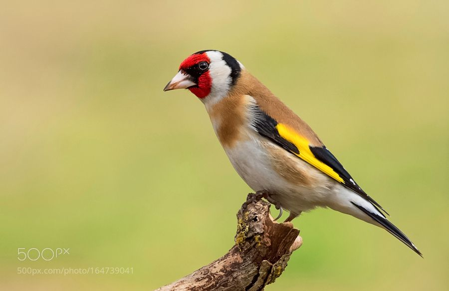 Goldfinch by frank742 via http://ift.tt/2aFtjmE