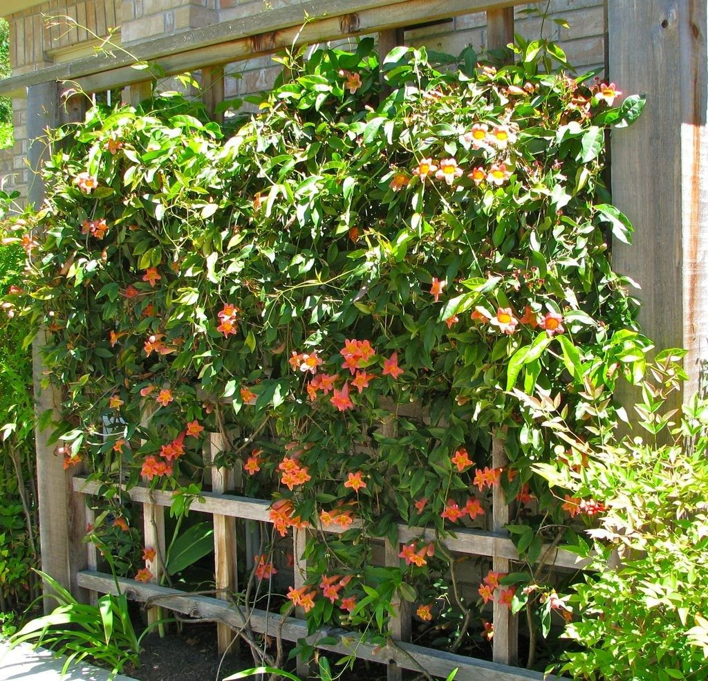 Pergola Vine Ideas: Beautiful Evergreen Vines Ideas For Your Home31