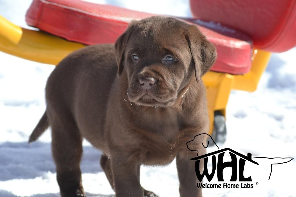 Labrador Puppies For Sale Mn Welcome Home Labs Labrador