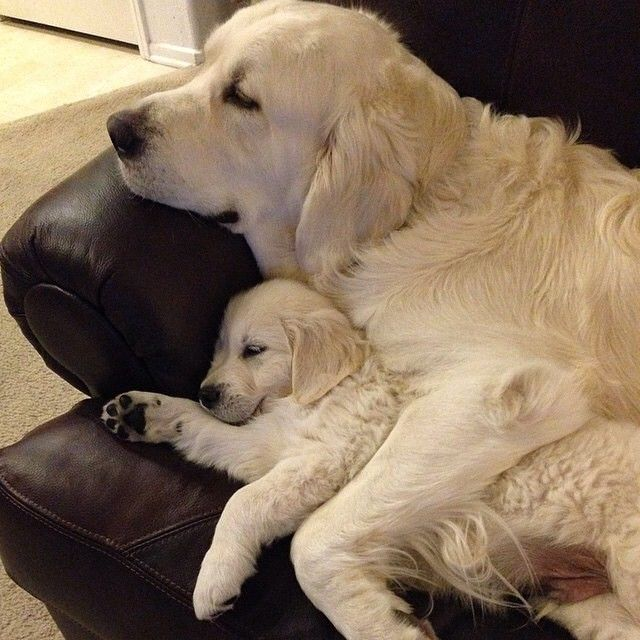 Resting Like A Mother And Her Puppy Or Father And His Puppy