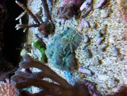 meerwasser korallen in hessen viernheim aquarium und aquaristikzubeh r g nstig ebay. Black Bedroom Furniture Sets. Home Design Ideas
