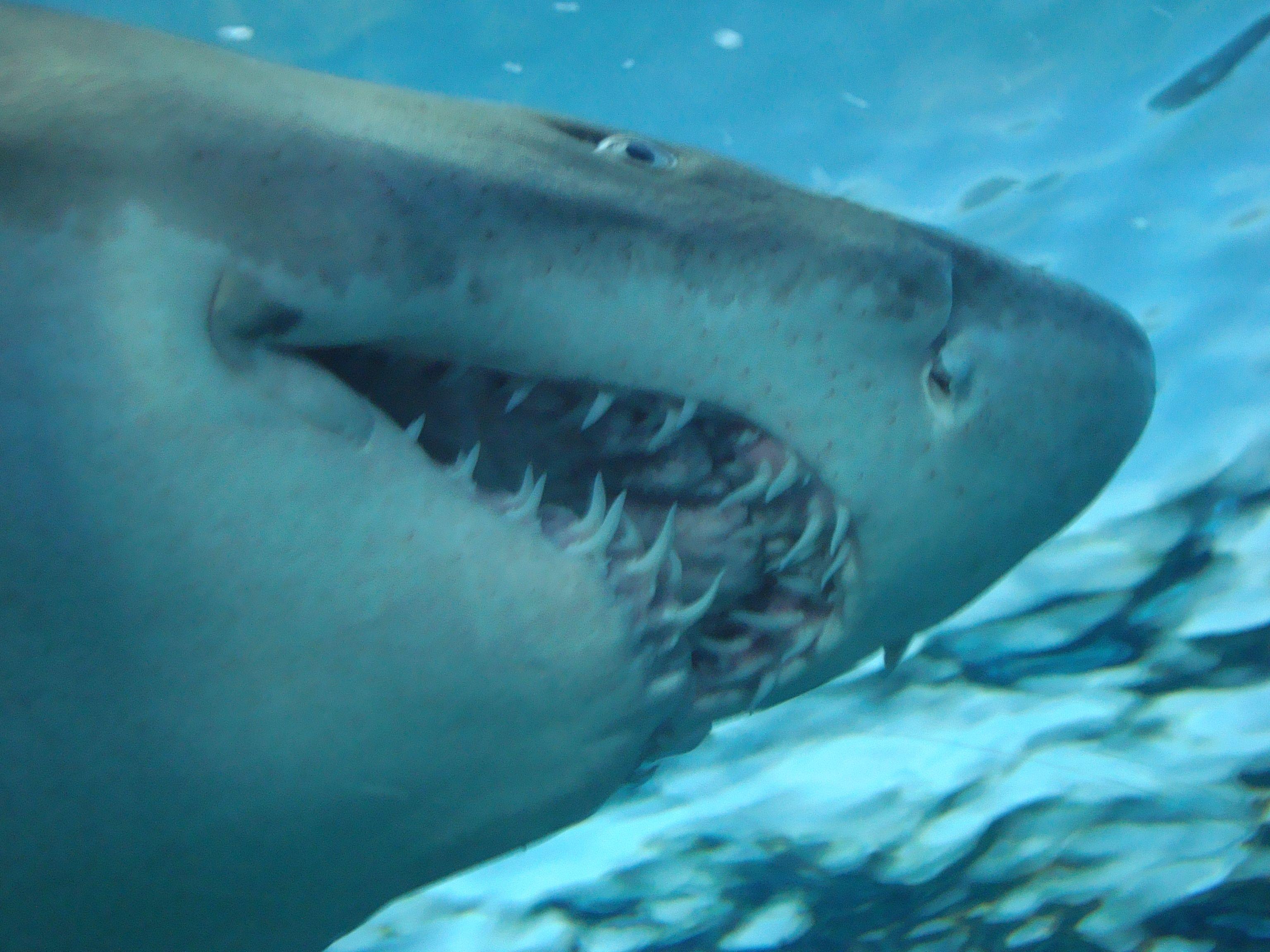Shark Ripleys Aquarium Myrtle Beach