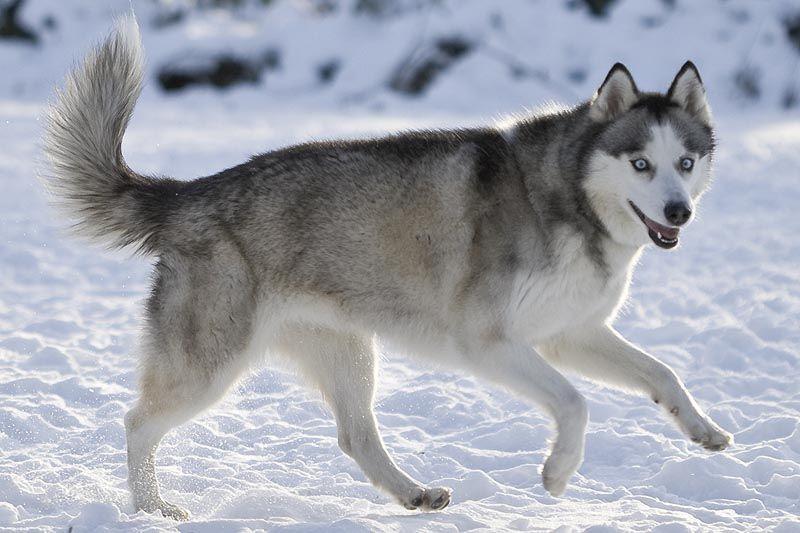 The Different Types Of Siberian Huskies Siberian Husky Siberian