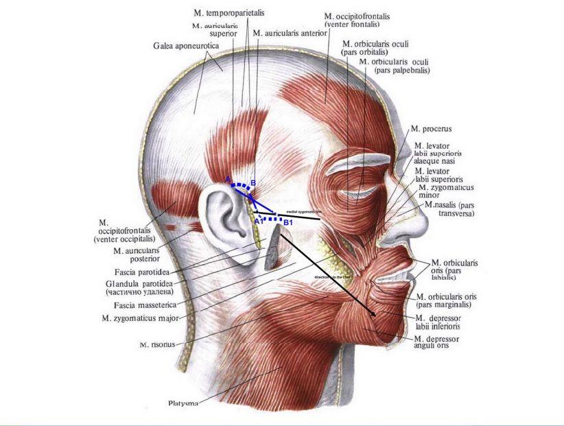 Ziemlich M. Orbicularis Oris Zeitgenössisch - Menschliche Anatomie ...