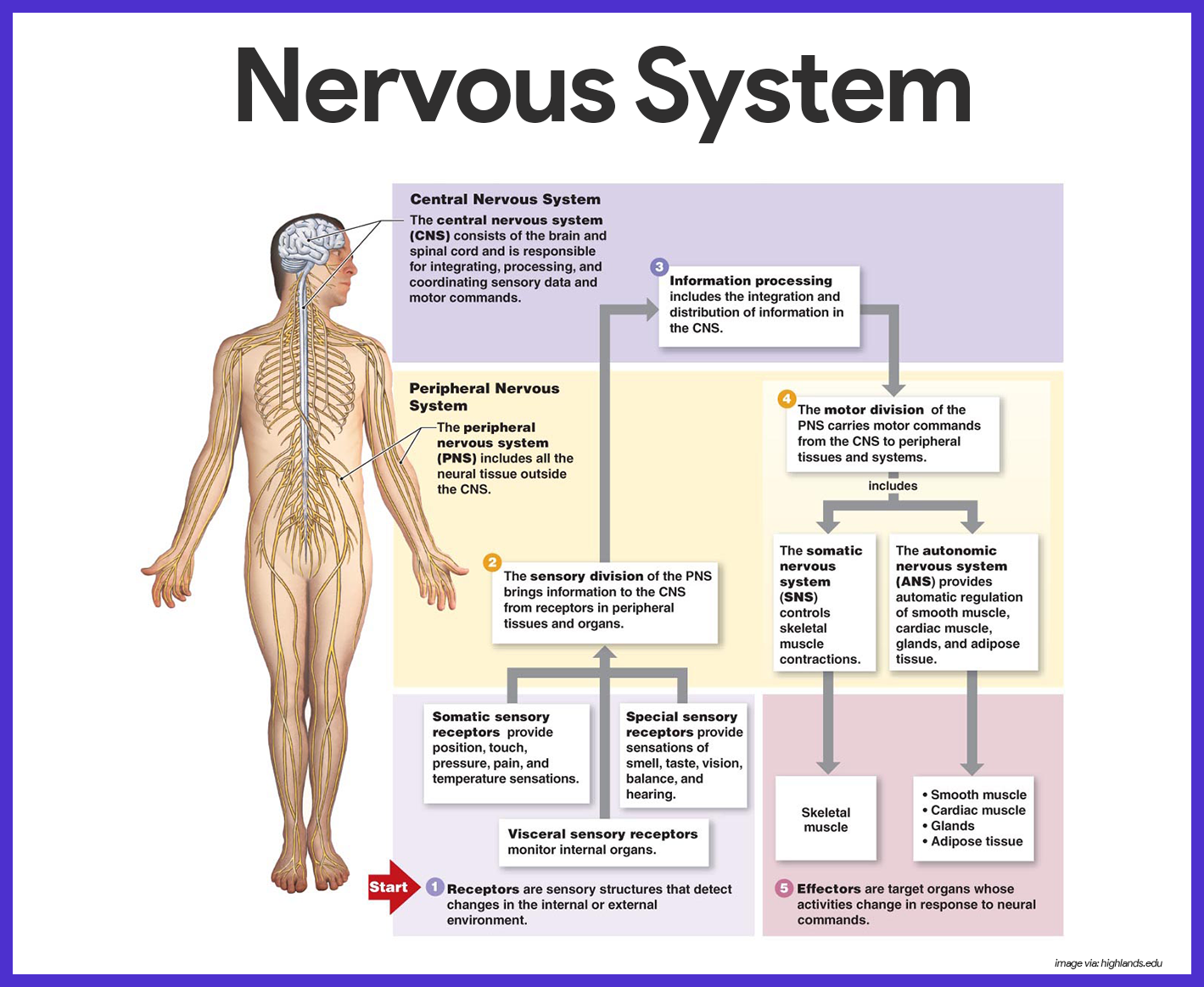 Nervous System Anatomy And Physiology Nervous System Anatomy Nervous System Diagram Peripheral Nervous System