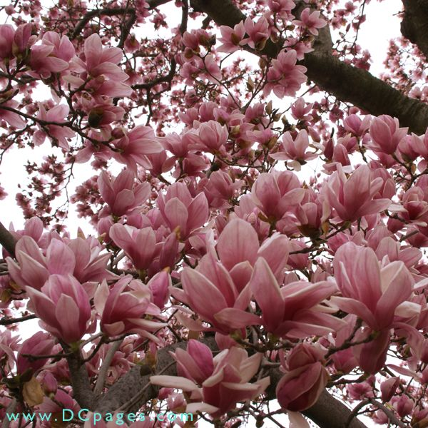 Jane Magnolia Magnolia Trees Beautiful Flowers Jane Magnolia Tree