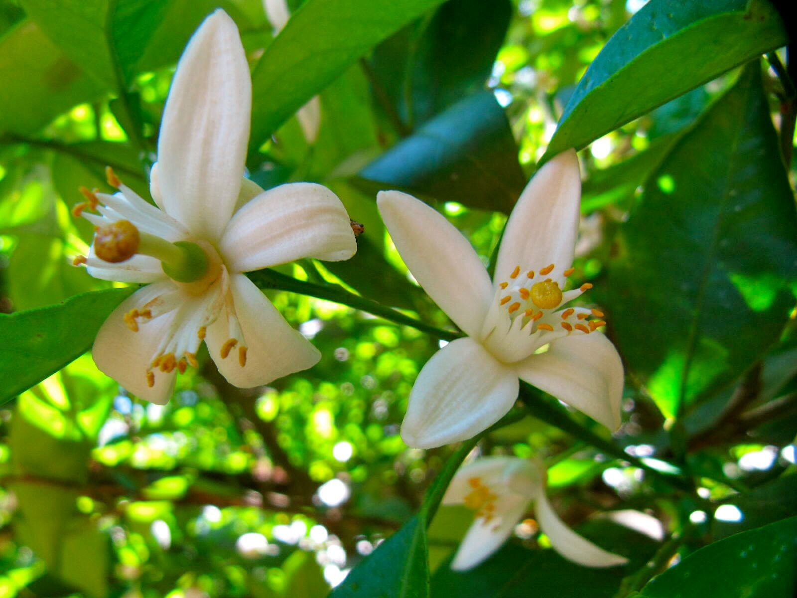 Orange blossoms. San Sebastián Mexico.