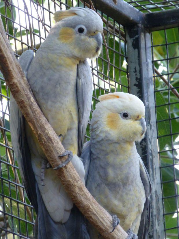 Eagles Nest Wildlife Hospital Inc Cockatoo Colorful Parrots