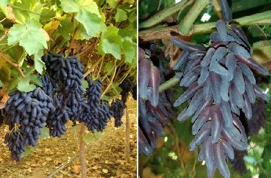 Witches Finger Grapes