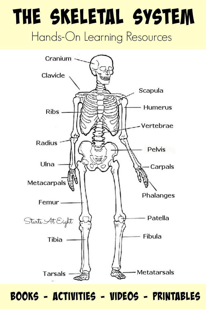 Skeletal System Coloring Pages Printable Human Bones in ...