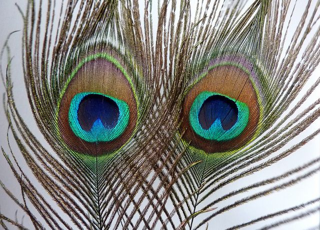 Photo of Peacock feather