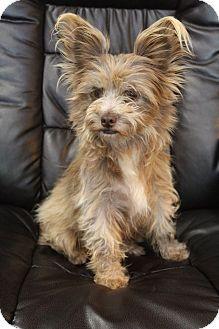 Staunton Va Papillon Yorkie Yorkshire Terrier Mix Meet Cricket A Dog For Adoption Mixed Breed Puppies Papillon Mix Yorkie