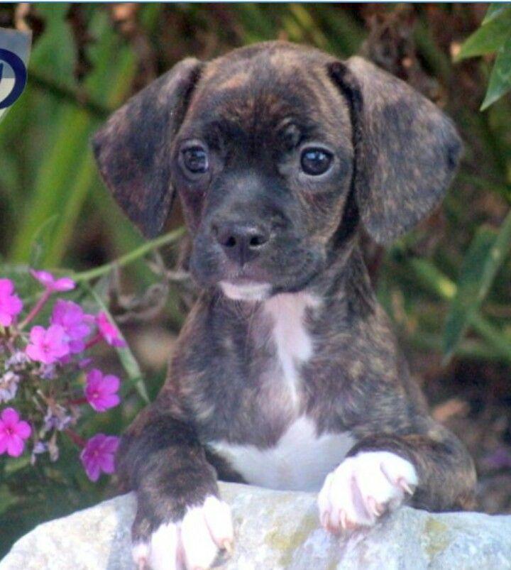 Frengle French Bulldog And Beagle Mix French Bulldog Mix