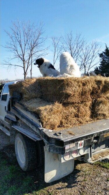 Harley n stugis loading hay
