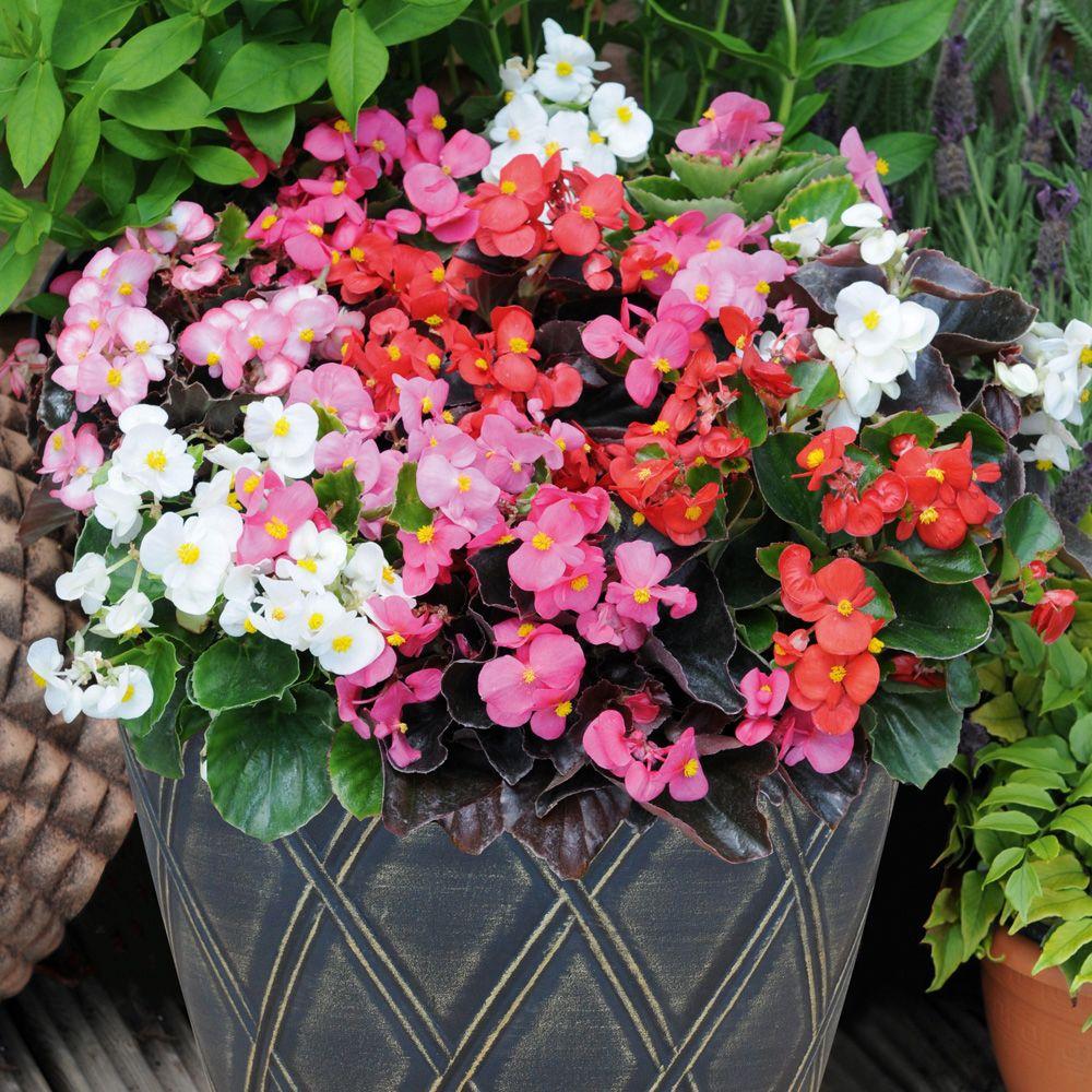 Begonia semperflorens Mixed' F1 Hybrid Annual