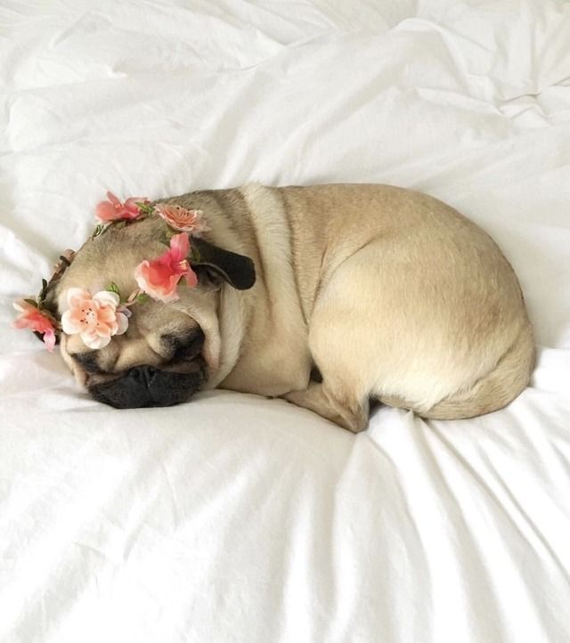 Pin by sue larson on life with a pug pinterest animal pup and dog thecheapjerseys Gallery
