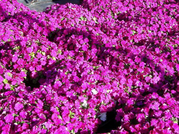 60 Impatiens SUPER ELFIN Xp VIOLET IMPROVED Live Plants Plugs DIY Planters 447 #BountifulPlants