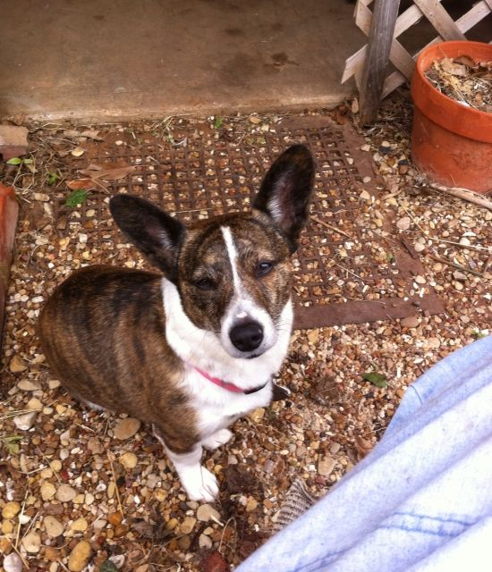 Kc The Little Cardigan Welsh Corgi From Oklahoma Cardigan Welsh