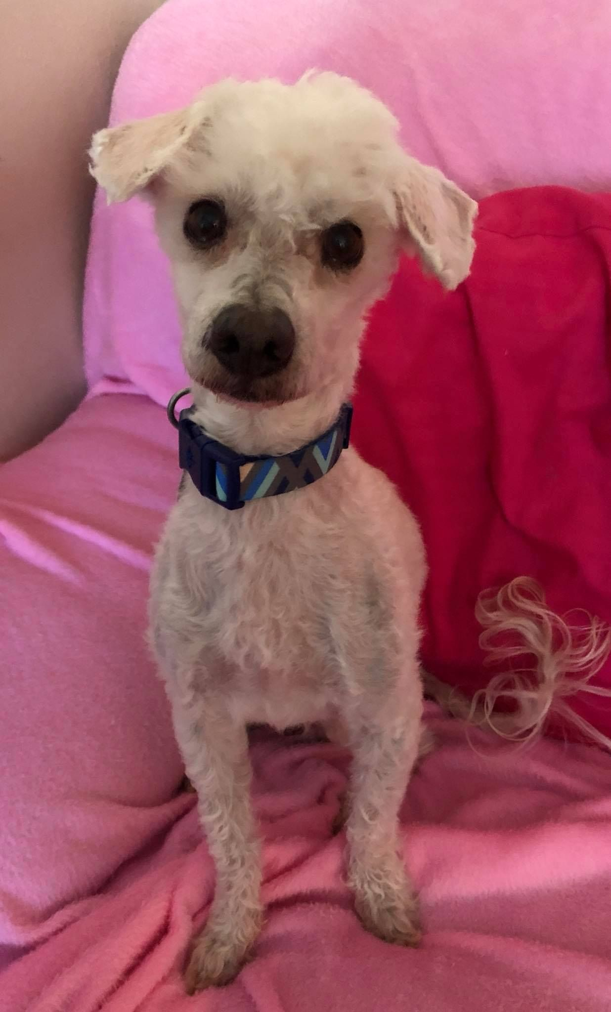 Poodle (Miniature) dog for Adoption in Colorado Springs