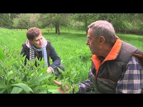 ▶ Kleine Kräuterkunde: Beinwell - YouTube #kleinekräutergärten