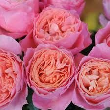 Image result for FREEZE DRIED DAVID AUSTIN ROSES